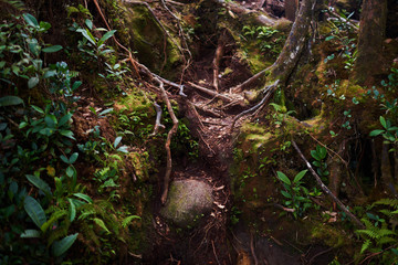 Jungle wild forest with interlacing of the roots of large trees. Landscape at mystical tropical mossy forest with amazing jungle plants. Concept for mysterious nature and fairy tale background..
