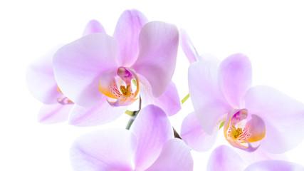 Schöne pinke Orchidee isoliert