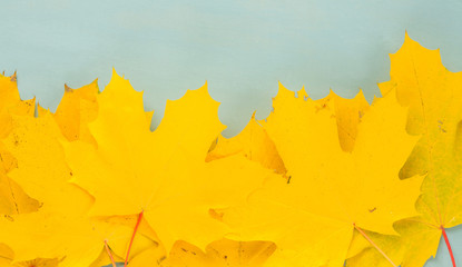 Fall yellow maple leaves on blue background banner