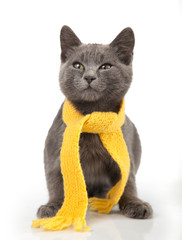 gray kitten in yellow scarf on a white background, smoky cat in knitted scarf, isolated on white