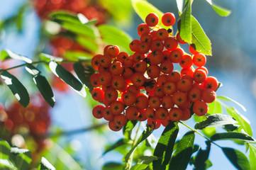 Rowan berry branch