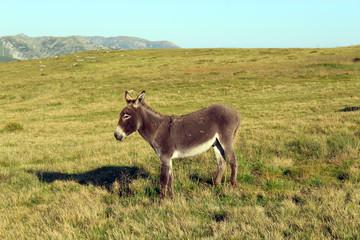 Donkey on the mountain