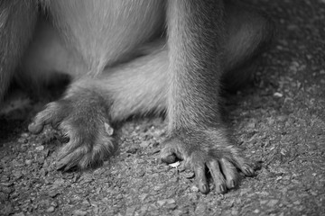 hand and leg of monkey sitting on ground floor in black and white color