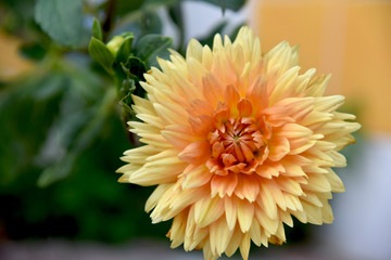 orange dahlia at garden full sun