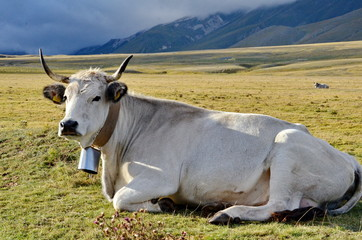 Cow with cow bell in a meadow in Italy