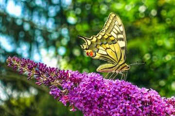 Yellow swallowtail butterfly (Papilio machaon) feeding on flowering summer lilac or butterfly-bush.