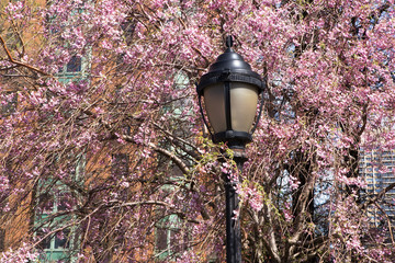 Brooklyn street lamp and flowering cherry tree.