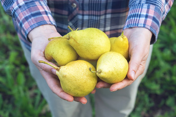 Farmer holding several pears in his hands.
