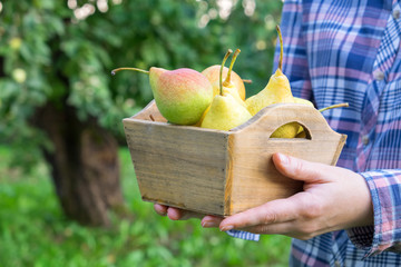Female farmer holding box of several pears in his hands. Orchard on background..