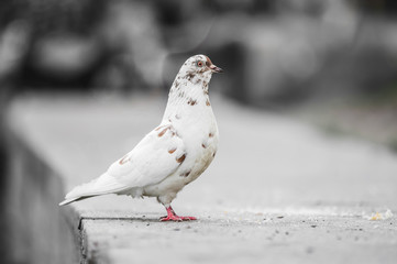 Beautiful pigeon posing for a portrait