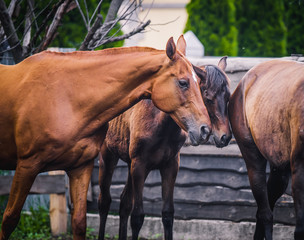 Beautiful horses walk in the summer in the pen