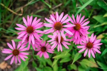 Close up view of a few vibrant pink daisy flowers.