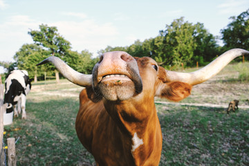 Funny Texas Longhorn cow nose with teeth showing closeup on cattle farm.
