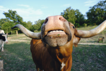 Big funny cow nose and teeth on texas longhorn closeup with rural farm pasture in background