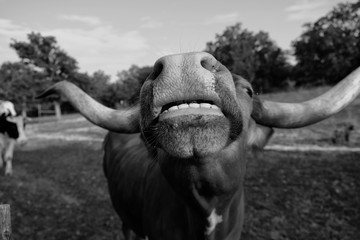 Wall Mural - Texas Longhorn cow shows closeup of funny face and teeth in black and white.  Portrait on rural ranch.