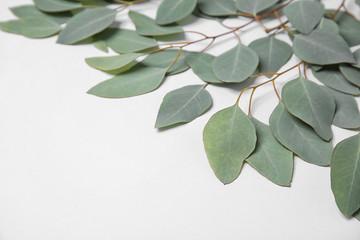 Fresh eucalyptus leaves on white background