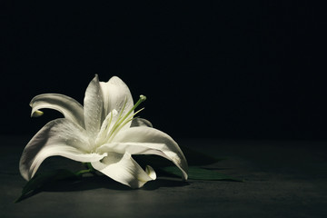 Beautiful lily on dark background with space for text. Funeral flower