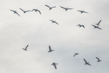 Birds soaring in cloudy sky