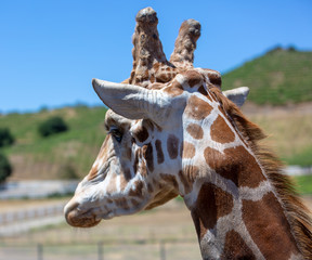 Giraffe Head Photograph