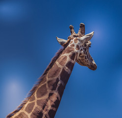 Giraffe with Blue Background