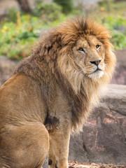 こちらを振り向くライオン