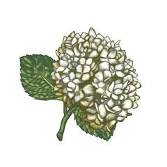 Digital paintings of Hydrangea flowers