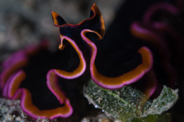 Pink and black Flatworm - Pseudobiceros gloriosus