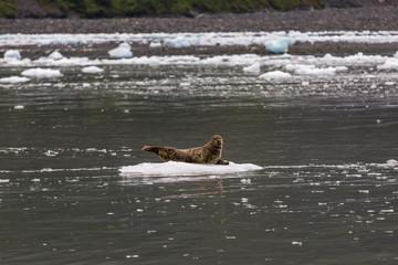 Seal on Ice in Alaska on Ocean