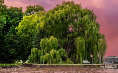 A weeping willow tree stands in sunset