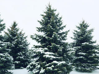 Wall Mural - Snow Covered Winter Pine Trees
