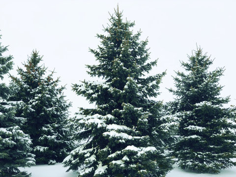 Snow Covered Winter Pine Trees