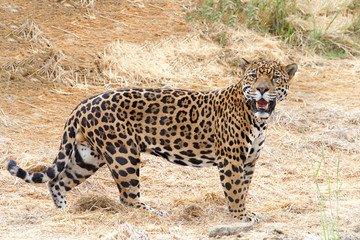 One adult male leopard standing in drought parched brown dry grass looking at viewer. Compared to other wild cats, the leopard has relatively short legs and a long body with a large skull.