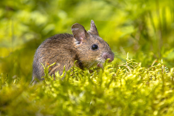 Wood mouse in green surroundings