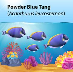 Powder blue tang fish in the ocean