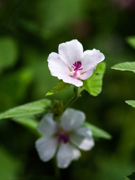 Wild flower Althaea officinalis.  Althaea have medicinal properties. Medicinal herb marsh mallow.