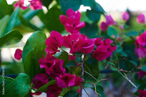 Beautiful Bougainvillea Tree With Meaty Leaves And Bright Flowers Large Blooming Purple