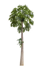 papaya tree isolated on white background with Clipping Path