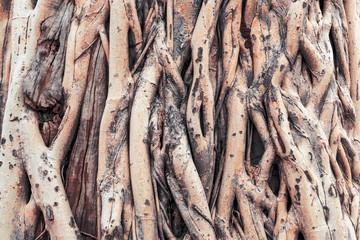 Ficus tree root background