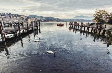 White swans floating in Lake Lucerne, Switzerland