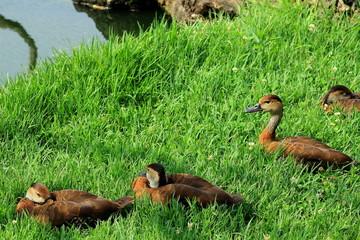 Enten machen Ruhepause