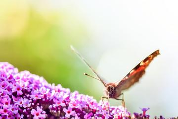 papillon butinant en macro