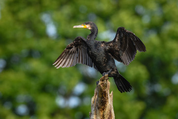 Black cormorant drying its wings on a damaged tree trunk