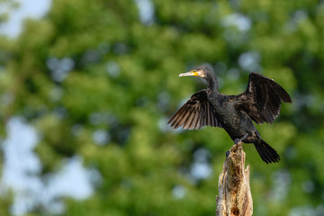 Black shag (phalacrocorax carbo) perching on a broken treetrunk