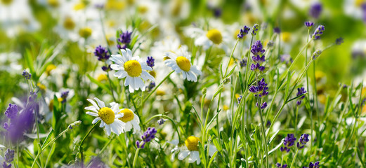 Chamomile and lavender flowers on a meadow in summer