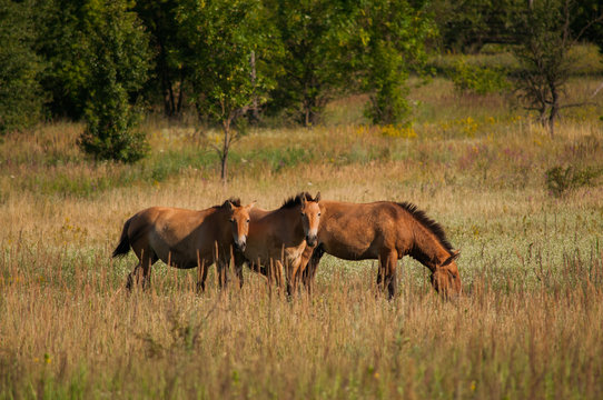 Wild Przewalski's horses on the meadow outdoors. Species under extinction. Animals in Chernobyl exclusion zone.