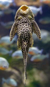 Aquarium Fish Bushymouth catfish (Ancistrus dolichopterus) on the wall of the aquarium