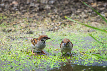 Closeup of sparrows near water in pond