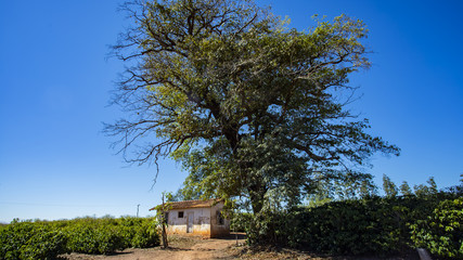 Rural farm in the world, small house, coffee plantation and big tree