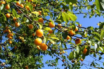 Renekloden,obst, baum, orange, essen, ast, reif, garden, green, natur, pflanze, ackerbau, blatt, obstgärten, citrus, rot, gesund, gelb, frisch, sommer, apricot, pflaume, bio, süss,