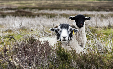 A Swaledale sheep and its lamb in Bransdale, North Yorkshire